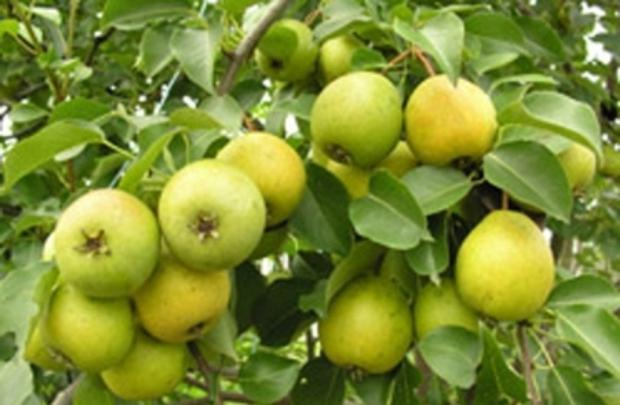 winter pear varieties photo with name and description